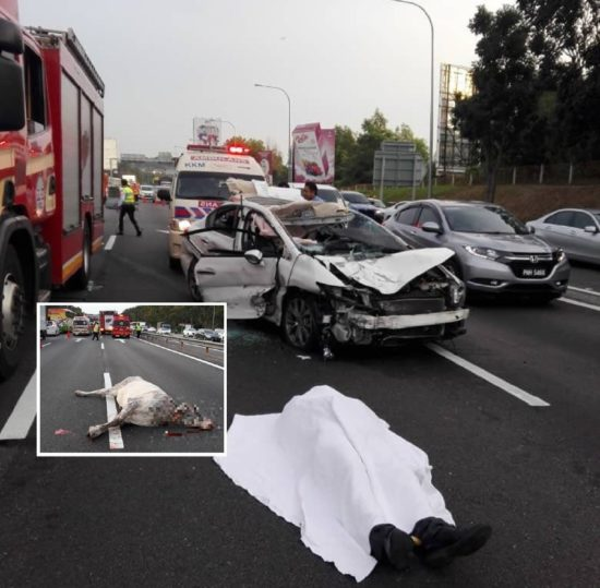 The-accident-in-Malaysia-involving-a-cow-and-a-Japanese-man